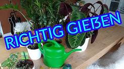 Zimmerpflanzen richtig gießen ausführliche Erklärung nie mehr Pflanzen falsch gießen Zimmerpflanzen