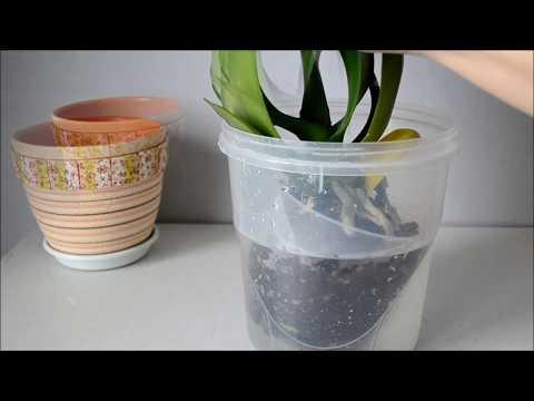 Полив орхидеи методом погружения
