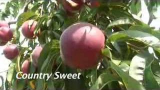 UMass Fruit Advisor: August 8, 2007-More early peaches