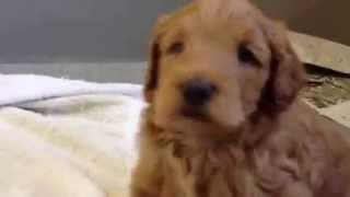 オーストラリアン・ラブラドゥードルのルートくんです。 産まれて、1ヶ...