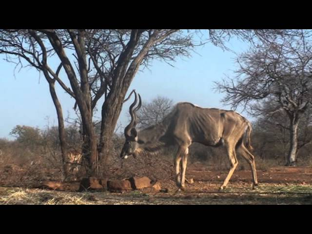 Motsomi Safaris Bow Hunting Kudu Flemming