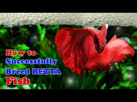 How To Breed Betta Fish | Breeding Over Halfmoon Betta