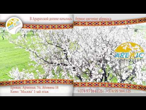 Arewic Travel - В Араратской долине зацвели абрикосы. Հայաստանում ծաղկում են ծիրանենիները)))