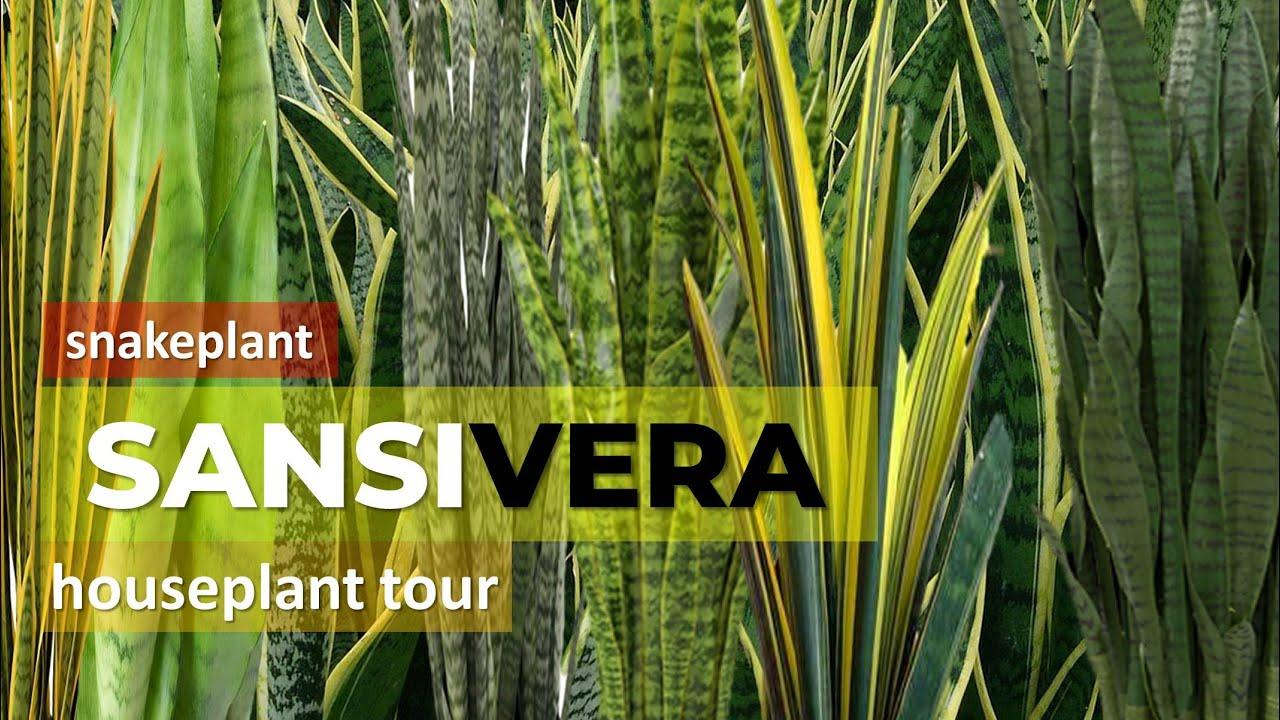 Sansevieria Plant Feng Shui wow variant snake plant/ sansevieria anti polutant