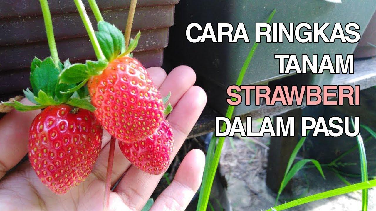 Tanam Pokok Strawberry Tanah Rendah