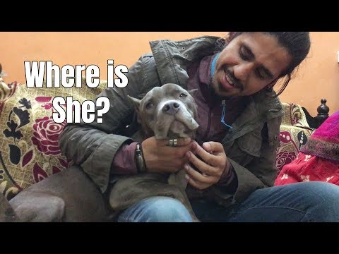 Where is my PITBULL? | Whiskey update | Wildly Indian