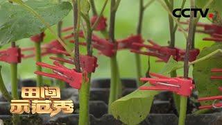《田间示范秀》 20200519 抢救茄子苗|CCTV农业