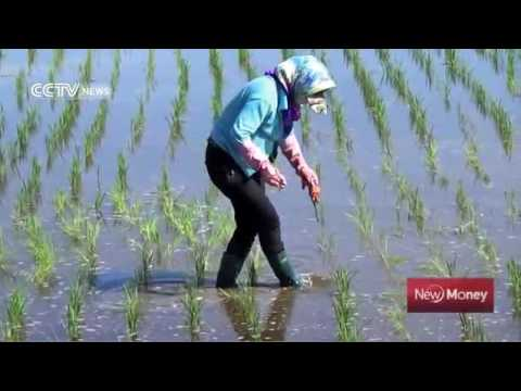17385 gelände aus agriculture CCTV News Rice cultivation revives China