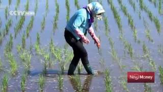 17385 gelände aus agriculture CCTV News Rice cultivation revives China's deserts  20160402 00 40