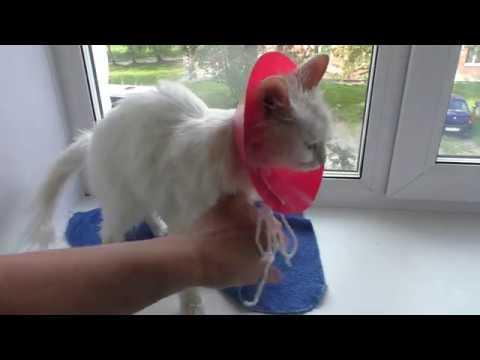 ВОРОТНИК ветеринарный для КОШКИ сделать КАК