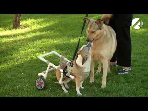 Астраханский мастер делает инвалидные коляски для собак. Сколько стоит такая реабилитация?
