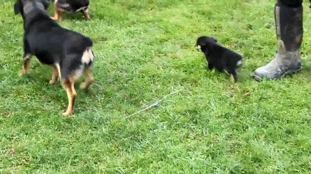Miniature Rottweiler Puppies For Sale Youtube