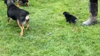 Miniature Rottweiler Puppies For Sale