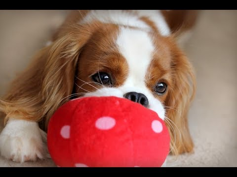 💗🐶 Lilly 7 months old | Cavalier King Charles Spaniel Lilly 💗🐶