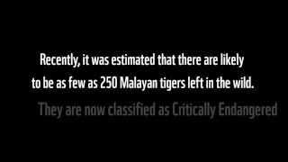Malayan Tiger cubs in the wild.