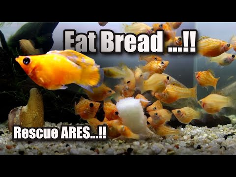 Mollies Fish Eat Bread And Rescue ARES