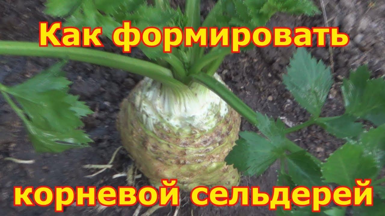 Корневой сельдерей - выращивание и уход, секреты хорошего ...