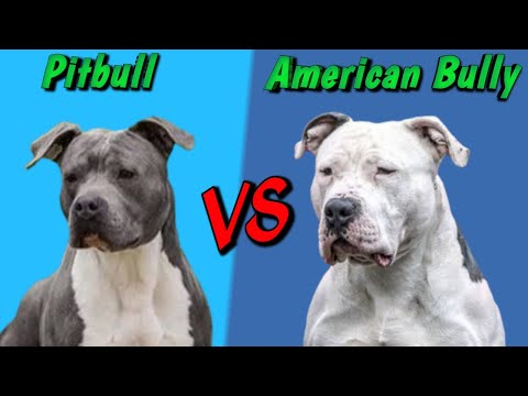 What Exactly Is An Xl Pitbull It S Not An American Bully Youtube