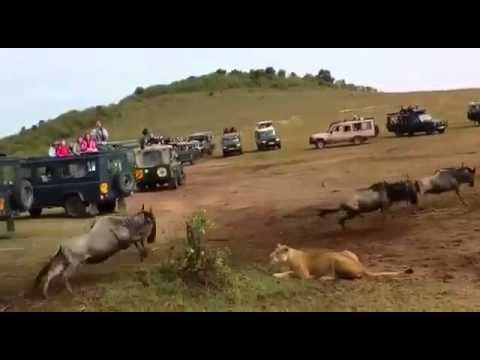 Kenya Raha - lion  attacks wild beast at Tsavo National Park