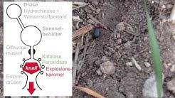 Bombardierkäfer - Dynamit auf 6 Beinen