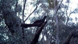 Superb Lyrebird at Girraween Queensland Australia