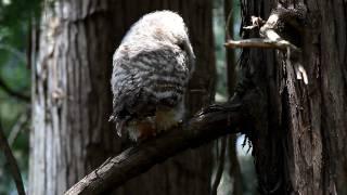 2010.05.02 撮影。 フクロウの雛パート( 2 ) です。 あまりに可愛い姿...