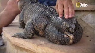 Prothèse pour alligator