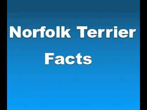Norfolk Terrier Facts - Facts About Norfolk Terriers