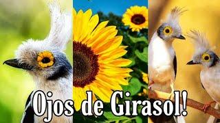 Ave Ojos de Girasol 🌻 la conocías? (Prionopo Plumatus / Prionopo Crestiblanco) 🥰🌻 👀