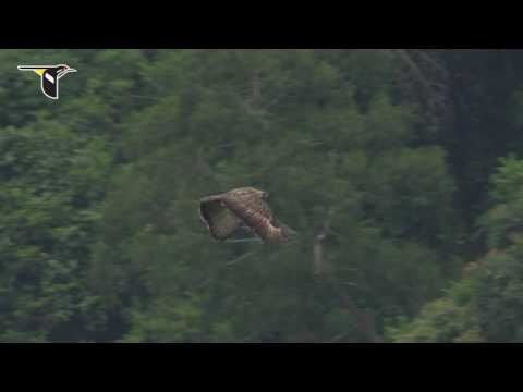 Slow Motion Philippine Eagle Flight