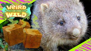 How Do Wombats Poop Cubes? | WEIRD IN THE WILD
