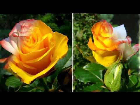 20 сортов роз для розария в саду  Лучшие сорта роз