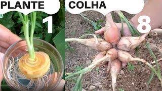 Plante Uma Cebola e Colha até Oito Unidades – Como Plantar Cebola