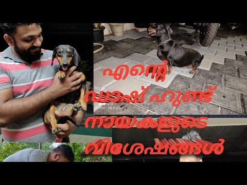 എന്റെ ഡാഷ് ഹണ്ട് നായകളും അവരുടെ വിശേഷങ്ങളും | Dachshund Dogs| KK FARMS & GARDENS [Agri Tech Media]