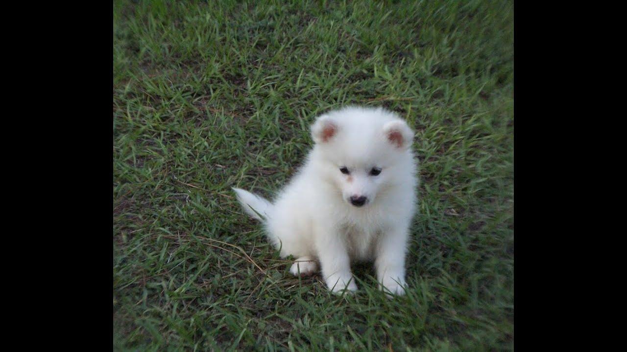 American Eskimo Dog Adoption