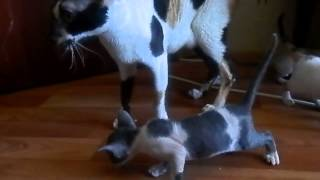 Котята корниш рекс разговаривают с мамой. Cornish Rex Kittens talk with mom