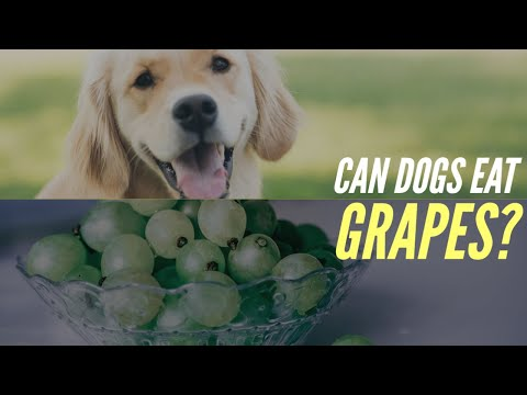 🔥Tips And Complete Guide Can Dogs Eat Grapes - Dangerous Foods For Dogs 👍