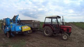 Mokre kopanie ziemniaków 2016 LEKKA WTOPA [Zetor] [Ursus] [bolko Z 643]