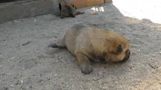 生後20日の可愛い山陰柴犬の子犬。なんとかハイハイができるように.