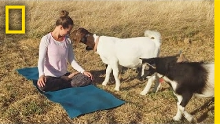 See Why These Cute Little Goats Are the Latest Yoga Craze | Short Film Showcase