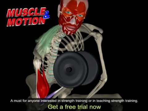 Dumbbell Concentration Curl | 3D Anatomy