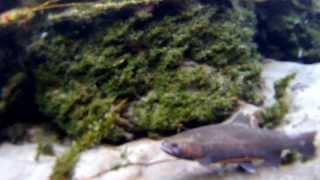 Unterwasser Steelhead Alpenrhein