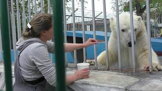 Special treat to Serik the Polar Bear at Perm Zoo, Russia thumbnail