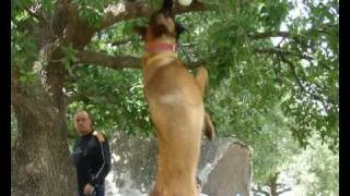 ISRAELI DOG ATTACKS UNBELIEVABLE   - police K9 and military dog   MALINOIS DVASH  - דבש