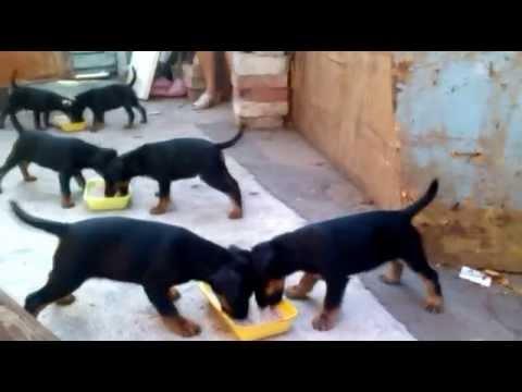Puppies jagdterrier