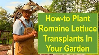 Tips and Ideas on How-to Plant Romaine Lettuce Transplants in Your Vegetable Garden