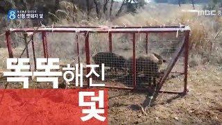 """""""멧돼지 꼼짝 마"""" 신형 덫 개발ㅣ멧돼지 포획 ㅣMBC충북 NEWS"""