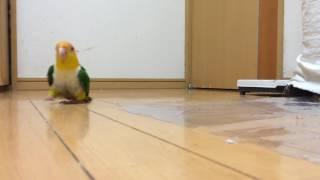 Шлёпающий попугай Funny parrot...