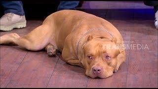 American Pitbull Terrier, Si Garang Yang Lembut dan Setia | HITAM PUTIH (01/02/19) Part 2