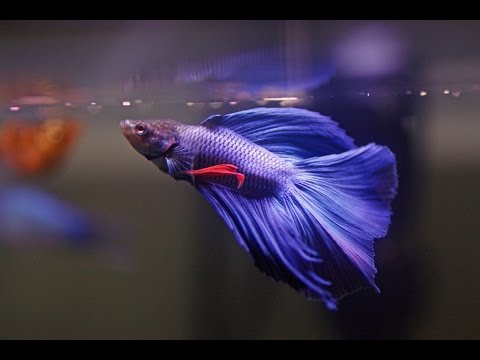 HOW TO: Care for Betta Fish